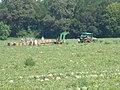 Watermellon harvest 2.jpg