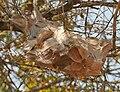 Weaver ants (Oecophylla smaragdina) nest in Kinnarsani WS, AP W IMG 6012.jpg