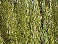 Weeping Willow (3211422639).jpg