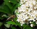 Weißdornblüten wird von Biene angeflogen.JPG