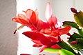 Weihnachtskaktus rot - Flickr - blumenbiene.jpg