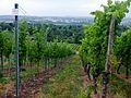 Weinberge Weingut Haidle - panoramio.jpg