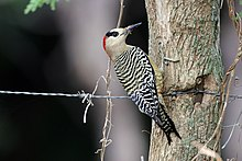 West Indian woodpecker (Melanerpes superciliaris superciliaris) female.JPG