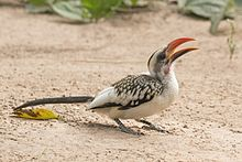 Western red-billed hornbill (Tockus kempi) male.jpg