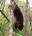 Western ringtail possum at Locke Nature Reserve.jpg