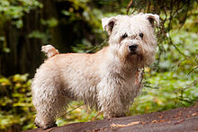 Glen of imaal terrier wikipedia glen of imaal terrier altavistaventures