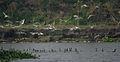 Whiskered Tern (Chlidonias hybridus) & Indian Cormorant (Phalacrocorax fuscicollis) W IMG 3653.jpg