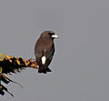 White-breastedwoodswallowDSC03295 110513 bali.jpg