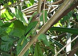White-cheeked Barbet at Karkal, Karnataka