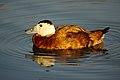 White-headed Duck (6445734869).jpg