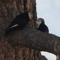 White-headed Woodpeckers (9122171692).jpg
