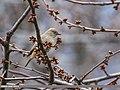 White-winged Redstart (Phoenicurus erythrogastrus) (34296086582).jpg