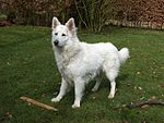 WhiteShepherd.jpg