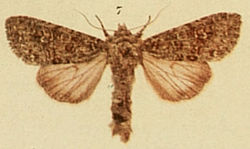 White Colon Moths of the British Isles.jpg