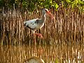 White Ibis - Flickr - treegrow (6).jpg