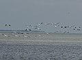 White Pelicans - Pelecanus erythrorhynchos, Everglades National Park, Flamingo, Florida (25078904358).jpg