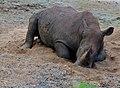 White Rhino (Ceratotherium simum) (12905853725).jpg