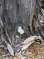 White lump in situ.jpg