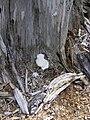 White lump in situ.jpg
