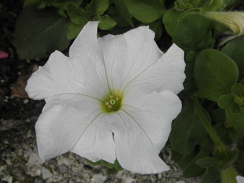 البتونيا الرائعة البتونيا 800px-White_petunia.