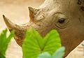 White rhinoceros (13945318281).jpg