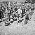 Wijnkoningin Mosella poseert met een emmer druiven in de wijngaard, Bestanddeelnr 254-4185.jpg