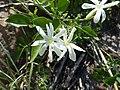 Wild Jasmine (Jasminum sp.) (11493696104).jpg