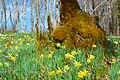 Wild daffodils in forest.jpg