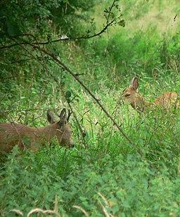 Wild deer near Canonteign falls - geograph.org.uk - 729597