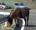 Wild horse of cape toi , 都井岬の野生馬 - panoramio - z tanuki (2).jpg