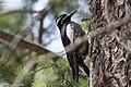 Williamson's Sapsucker (male) Forest Rd 42 Loop Chiricahuas Portal AZ-78 (35066895303).jpg