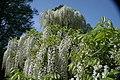 Wisteria floribunda Alba 1zz.jpg