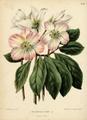 WitteHeinrichFlora1868-033-Helleborus niger.png