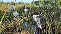 Wollgras - FFH-Gebiet Tarbeker Moor.jpg