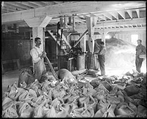 Visalia, California - Workers weighing and sacking sugar at the Pacific Sugar Company, Visalia, Tulare County, California, ca.1900