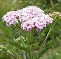 Yarrow (Achillea millefolium) (3649567695).jpg
