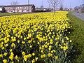 Yate.daffodils.arp.jpg