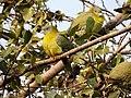 Yellow-footed Green Pigeon Treron phoenicoptera by Dr. Raju Kasambe DSCN2282 (21).jpg