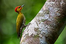 Yellow-throated woodpecker (Piculus flavigula).jpg