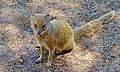 Yellow Mongoose (Cynictis penicillata) (6492594363).jpg