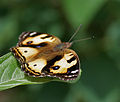 Yellow Pansy (Junonia hierta)- Female in Talakona forest, AP W IMG 8584.jpg