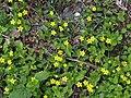 Yellow Pimpernel - geograph.org.uk - 1302032.jpg