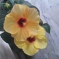 Yellow red hibiscus.jpg