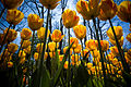 Yellow tulips at Keukenhof.jpg