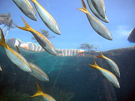 Yellowtail snapper seen from Underwater Tunnel Atlantis.jpg
