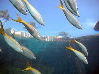 Yellowtail snapper species of fish