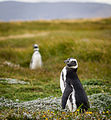 Young Magellanic Penguins.jpg