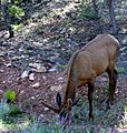 Young elk in velvet.jpg
