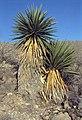 Yucca faxoniana fh 1178.46 TX B.jpg