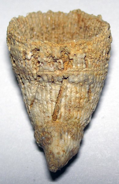 File:Zaphrentis phrygia fossil rugose coral (Jeffersonville Limestone, Middle Devonian; Falls of the Ohio, southern Indiana, USA) 1 (15590522272).jpg